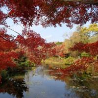 池の面(も)に紅葉(もみじ)燃え立つ ~ モネの庭から(その335)