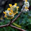 春の色ミツマタ