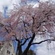 桜堤団地の桜 2018.3.23
