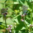 シジミ蝶舞々