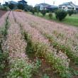 ピンク色の蕎麦の花