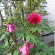 我が家のボタンの花と・・・イペーアマレーロと・・
