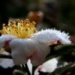 花に咲いた霜の華・・・