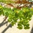 ユーフォルビア・パラリアス Euphorbia paralias