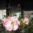 蕾も咲いて。 バラのブライダルピンク