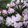 石楠花(しゃくなげ)という花