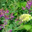 『季節の花』 ハギ