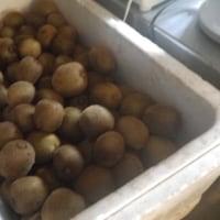 キウイ、大豆収穫始める