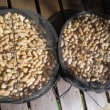 ラッカセイの収穫(2)ーおおまさり9㌔、千葉半立7㌔