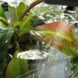 ネペンテス栽培記 438 湿度を維持する