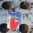 今年の秋冬野菜は、ニンジンから始めました。
