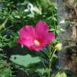蜂強(こわ)しアオイ美し夏の庭 (桃蛙)