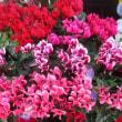 ガーデンシクラメン苗・アリッサム苗・ビオラ苗・パンジー苗を入荷致しました。(花壇植え用)