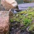 縮景園でカワセミくんとイソシギです