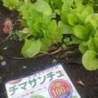 久々の畑 野菜の収穫 スーパーの野菜は高いな