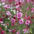 鼻高展望花の丘のコスモス2018(その4)