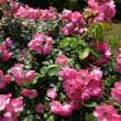 2018・5・15 古河庭園の薔薇