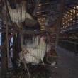 【 正しい卵の選び方 】  飼育されている鶏の約22%がとても重い病気です。