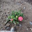 我が家の お花様達 751