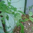 葉切り蜂~ハキリバチ
