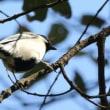 埼玉県川越市郊外にある伊佐沼の浅瀬などで、ヒドリガモなどを観察しました
