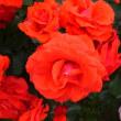 千一夜第3章第104夜 薔薇の咲くころ