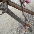 本山の桜;陽光桜・四季咲桜&ハマボウ
