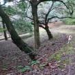 昼前散歩は赤松林