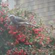 我が家の小鳥、2016-1