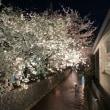 木屋町 高瀬川沿い 桜(╹◡╹)