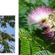 ≪ネムノキ・合歓の木≫ 満開