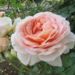 バラがきれいですね