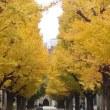 一気にイチョウの紅葉も終盤に・・・某東京の大学