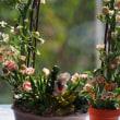 パンフラワー(多肉植物の鉢植え)