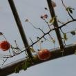 秋の名残のバラ