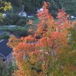 秋の気配 - - モミジ - -
