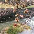箱根は大雪に…桜は足踏み…