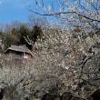 筑波山 梅林の開花状況(3月18日) 「見頃過ぎ」ですが散る梅を愉しむ人が多かった