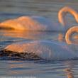 白鳥(荒川)