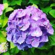 白山神社の紫陽花まつり