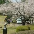 桜も満開となった
