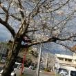 伊集院の桜並木
