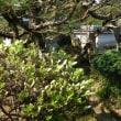 庭のツツジが咲いて来ました
