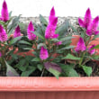 鉢花を買ってきて、植えた。