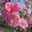 今年初めての桜