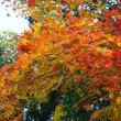 安国寺のドウダンツツジの紅葉はピーク
