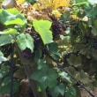 TDS ザンビーニブラザーズの葡萄畑