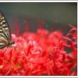 ヒガンバナにアゲハチョウ
