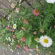5月 花便り 白いアマリリス キンギョソウなど