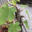 イチジクの木デスのポ